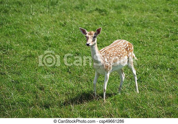 Fallow Deer (Dama dama) - csp49661286