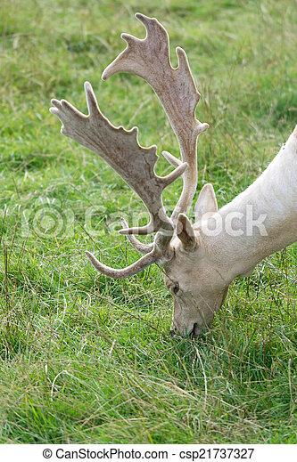Fallow Deer (Dama dama) - csp21737327