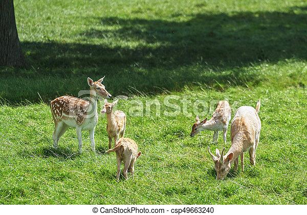 Fallow Deer (Dama dama) - csp49663240
