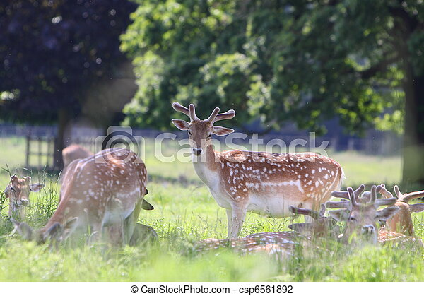 Fallow deer (Dama dama) - csp6561892