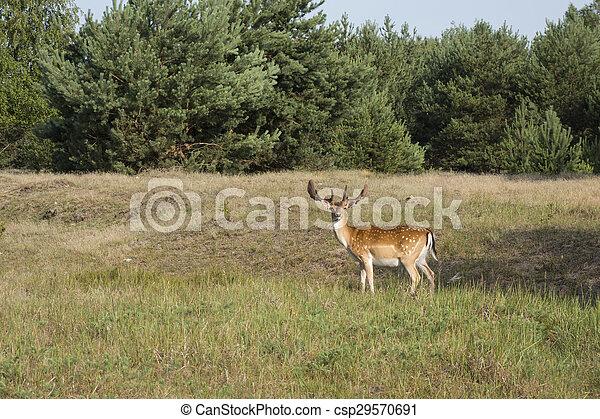 Fallow deer - Dama dama - csp29570691
