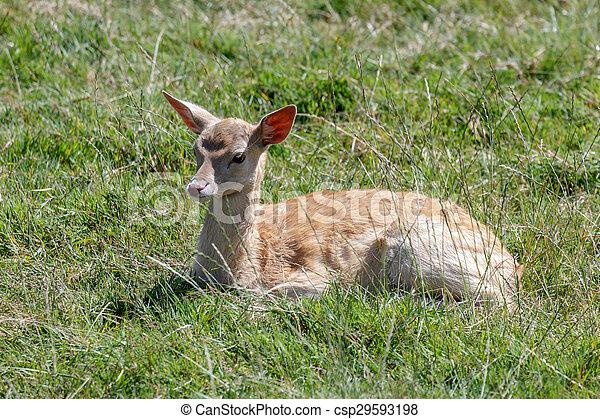 Fallow Deer (Dama dama) - csp29593198
