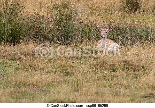 Fallow deer (Dama dama) - csp66165299