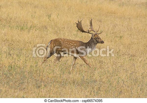 fallow deer (Dama dama) - csp66574395