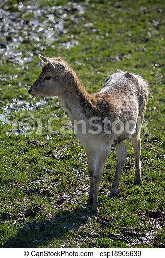 Fallow Deer (dama dama) - csp18905639