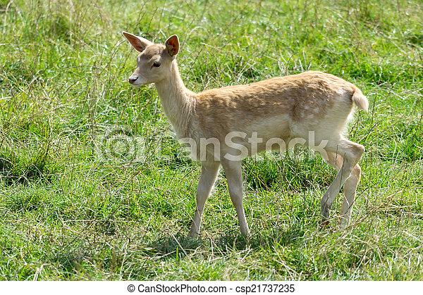 Fallow Deer (Dama dama) - csp21737235