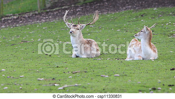 Fallow deer stag and doe - csp11330831