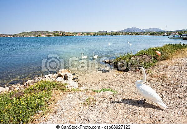 familie, sibenik-knin, schwan, -, bilice, warten, kolben, kroatien, sandstrand, ihr - csp68927123