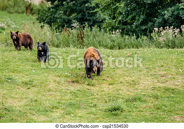 Family of american black bears - csp21534530