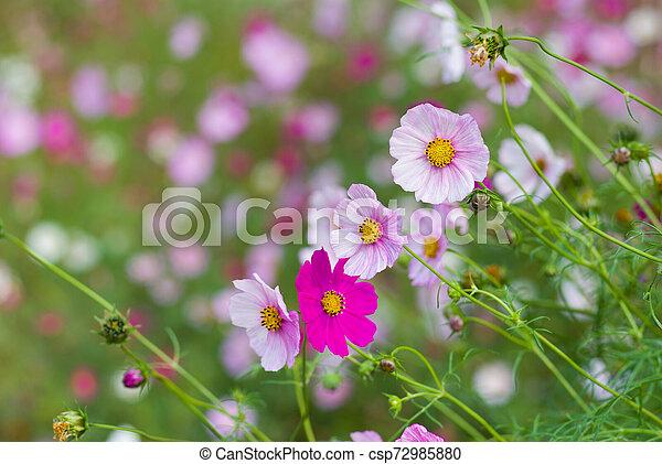 Family of cosmos flowers in summer garden - csp72985880