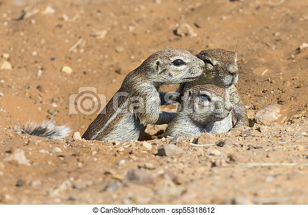 Family of Ground Squirrels carefully come out of their burrow in Kalahari - csp55318612