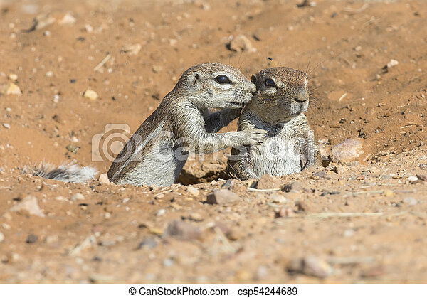 Family of Ground Squirrels carefully come out of their burrow in Kalahari - csp54244689