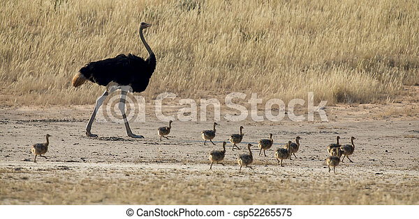 Family of ostrich chicks running after their parents in dry Kalahari sun - csp52265575