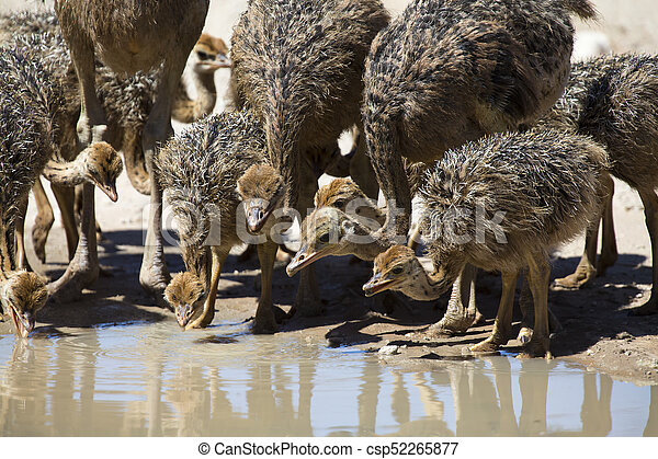 Family of ostriches drinking water from a pool in hot sun of the Kalahari - csp52265877