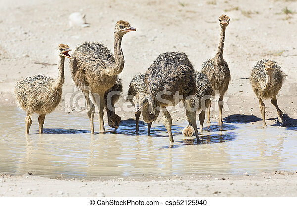 Family of ostriches drinking water from a pool in hot sun of the Kalahari - csp52125940