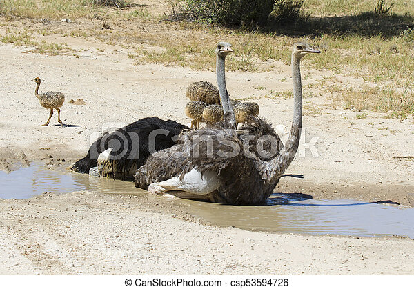 Family of ostriches having a bath in hot sun of the Kalahari - csp53594726