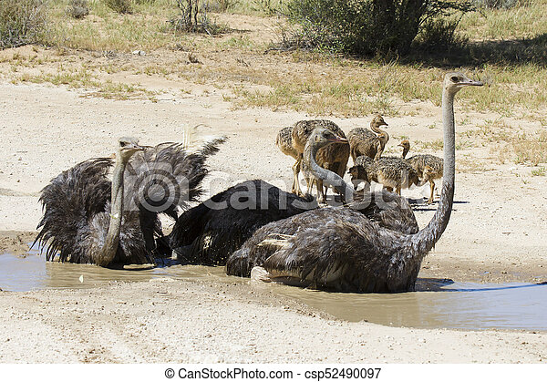 Family of ostriches having a bath in hot sun of the Kalahari - csp52490097