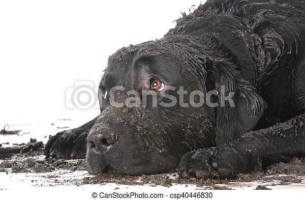 Perro sucio - csp40446830