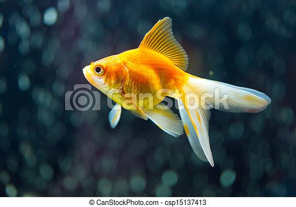 Fantail Goldfish - csp15137413