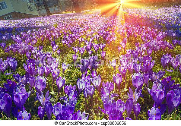 Fantastic Flowers Crocus Saffron Crocus Geyfelya First