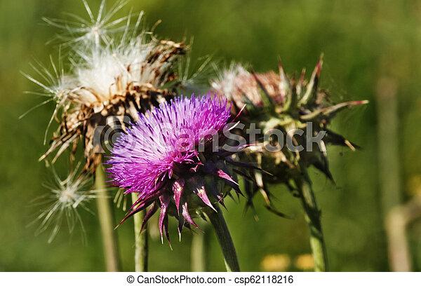 Fantastic thistle flower - csp62118216