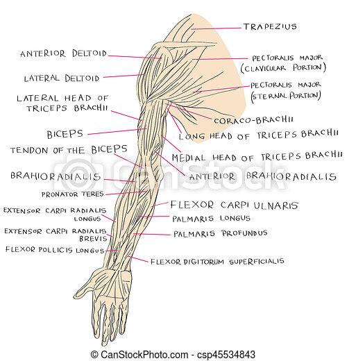 Farbe, muskeln, arm. Grafik, muskeln, studieren, abbildung, hand ...