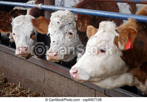 Farm Animals - Cows - csp9457108
