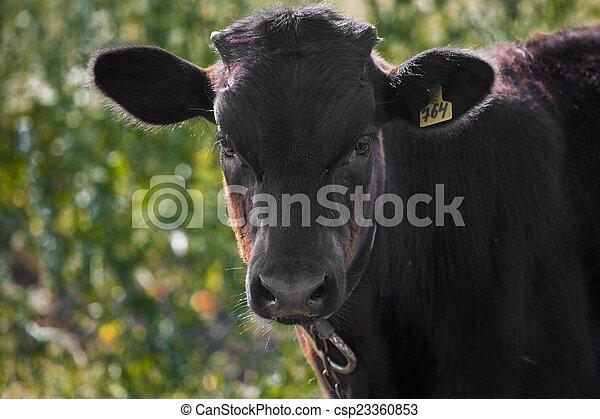 farm bull in a meadow - csp23360853
