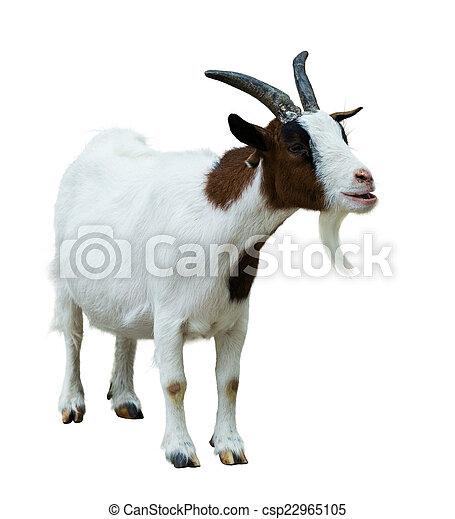 Farm goat. Isolated on white   - csp22965105