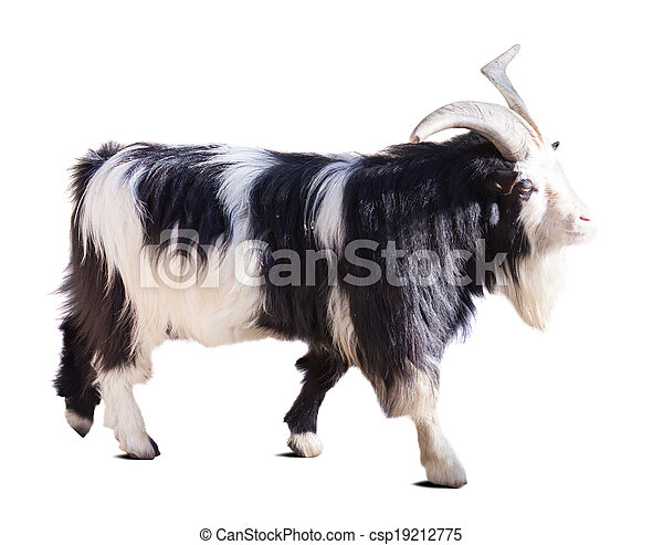 Farm goat. Isolated over white   - csp19212775