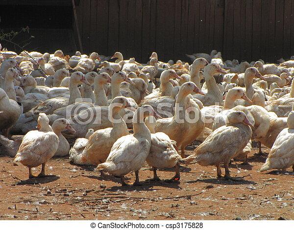 Farm, goose, duck, livestock-farming - csp3175828