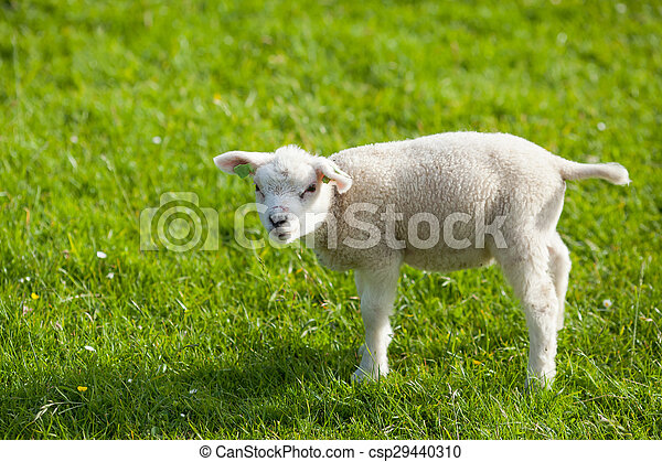 farm lamb on green grass background - csp29440310