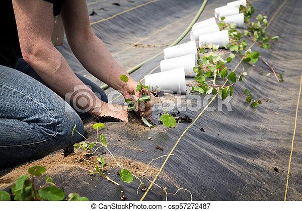 Farm worker preparing and transplanting organic new mashua plants - csp57272487