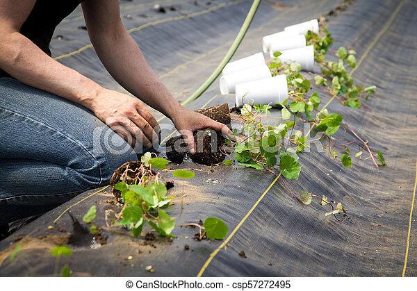Farm worker preparing and transplanting organic new mashua plants - csp57272495