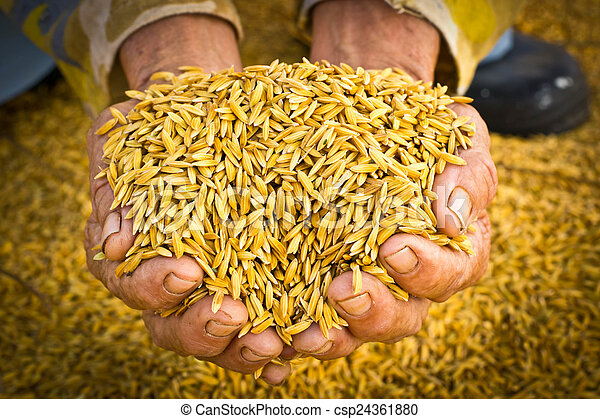 Farmer carrying paddy on hand - csp24361880