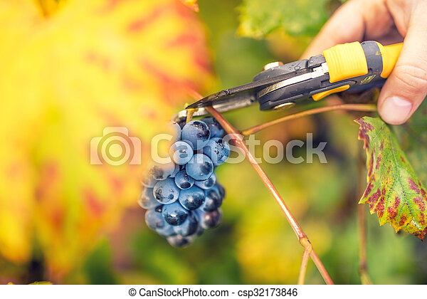 farmer collecting ripe grapes on autumn harvest from valley winery - csp32173846