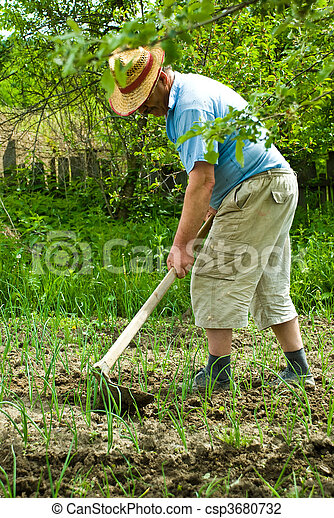Farmer digging cultivated onion - csp3680732