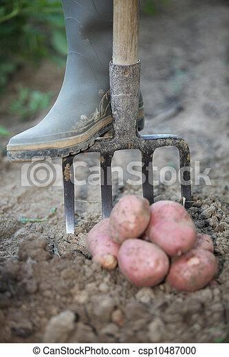 Farmer digging for potatoes - csp10487000