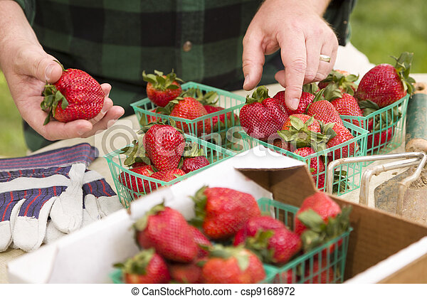 Farmer Gathering Fresh Strawberries in Baskets - csp9168972