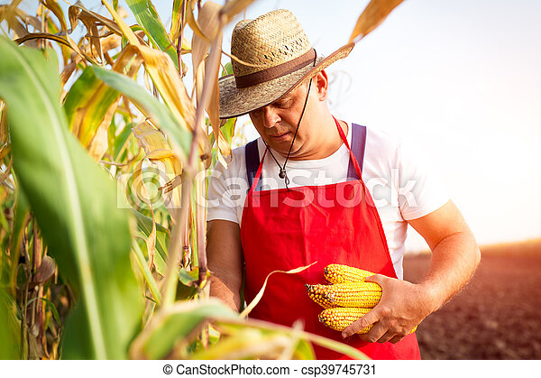 Farmer in corn field - csp39745731