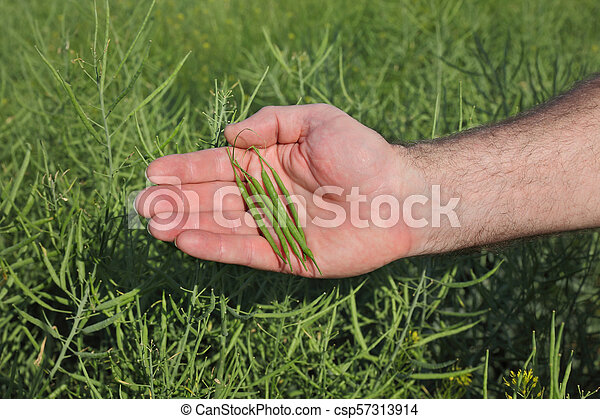 Farmer inspecting rapeseed crop in field - csp57313914