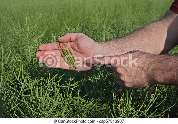 Farmer inspecting rapeseed crop in field - csp57313907
