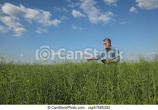 Farmer inspecting rapeseed crop in field - csp57585302