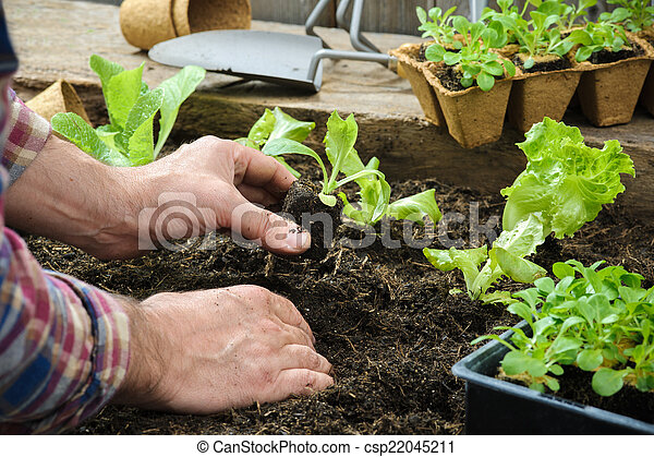 Farmer planting young seedlings - csp22045211