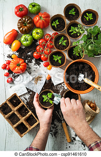 Farmer planting young tomatoes seedlings - csp91461610