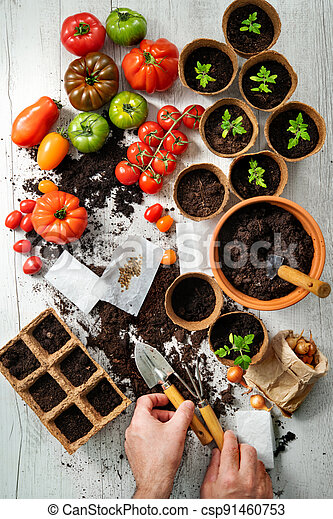 Farmer planting young tomatoes seedlings - csp91460753