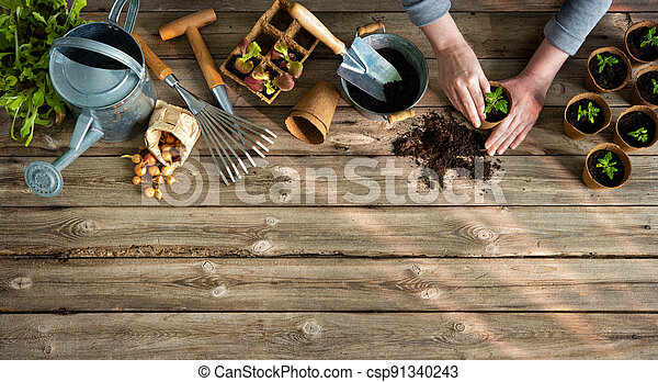 Farmer planting young tomatoes seedlings on wooden table - csp91340243