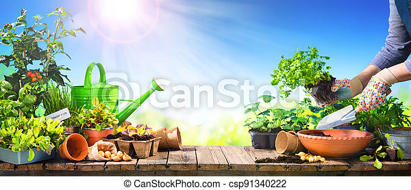 Farmer planting young vegetable seedlings on wooden table outdoors - csp91340222