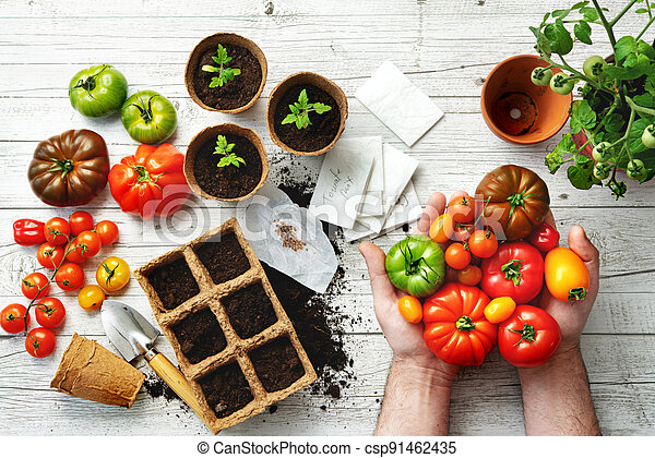 Farmer shows different varieties of tomatoes on table with soil, seeds and young seedlings - csp91462435