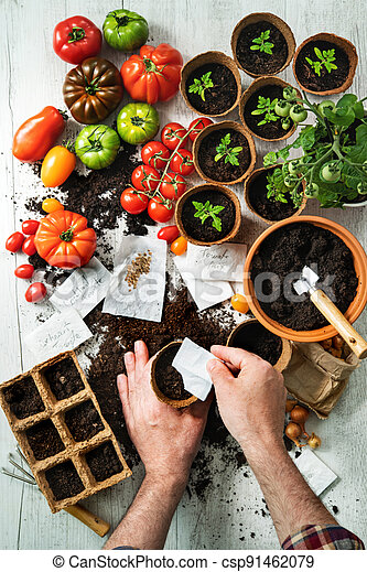 Farmer sows tomatoes seeds in to growing pots - csp91462079